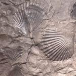 fossielPecten425